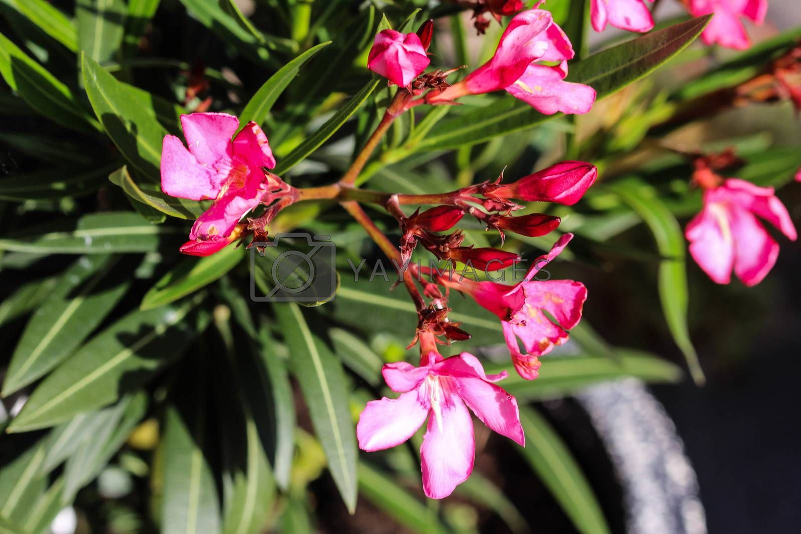 Royalty free image of Nerium oleander flower, most commonly known as nerium or oleander, blooming in spring in the garden by michaelmeijer