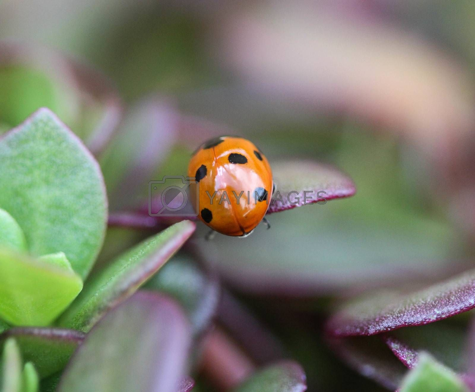 Royalty free image of Coccinella septempunctata, the seven-spot ladybird, the most common Ladybug in Europe by michaelmeijer