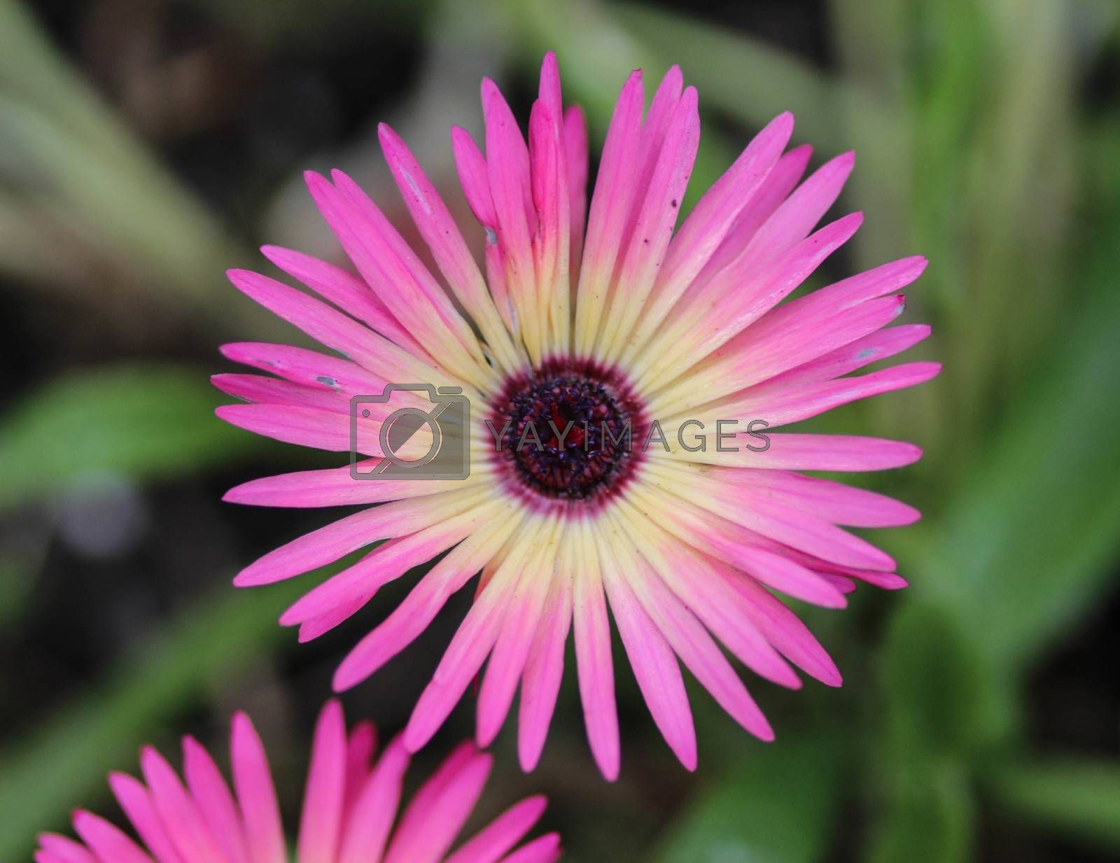 Royalty free image of Cleretum bellidiforme, commonly called Livingstone daisy or Bokbaaivygie, blooming in spring in the garden by michaelmeijer