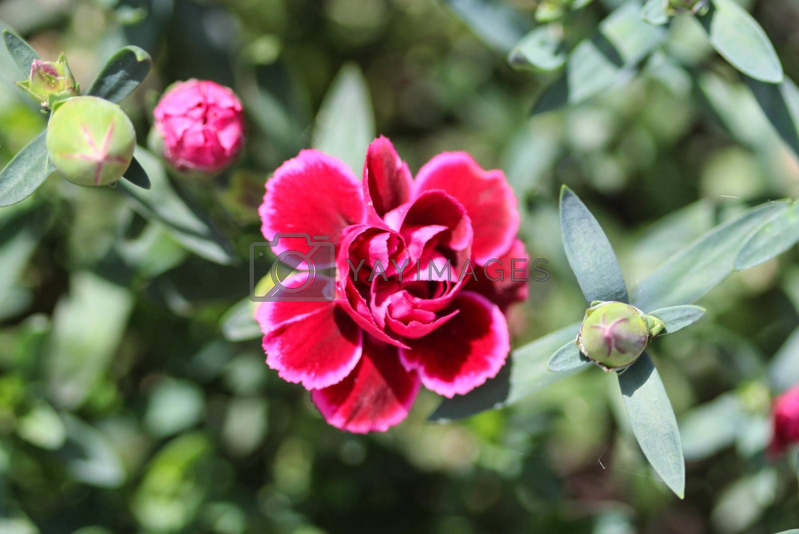 Royalty free image of Dianthus caryophyllus, commonly known as the carnation or clove pink, is a species of Dianthus. This flower is blooming in spring in a garden by michaelmeijer