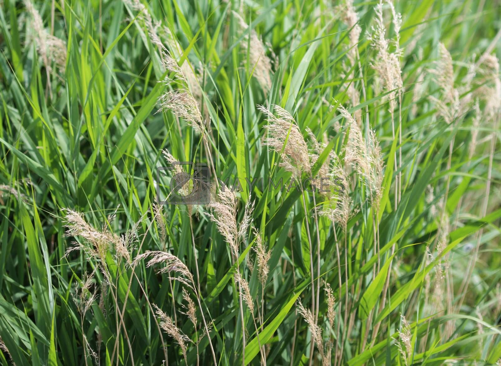 Royalty free image of common reed or Phragmites australis along a ditch by michaelmeijer