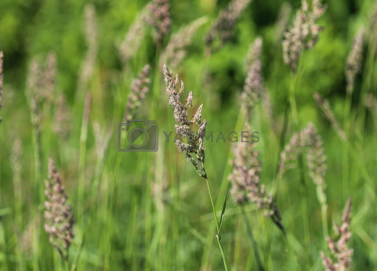 Royalty free image of Dactylis glomerata, also known as cock's foot, orchard grass, or cat grass by michaelmeijer