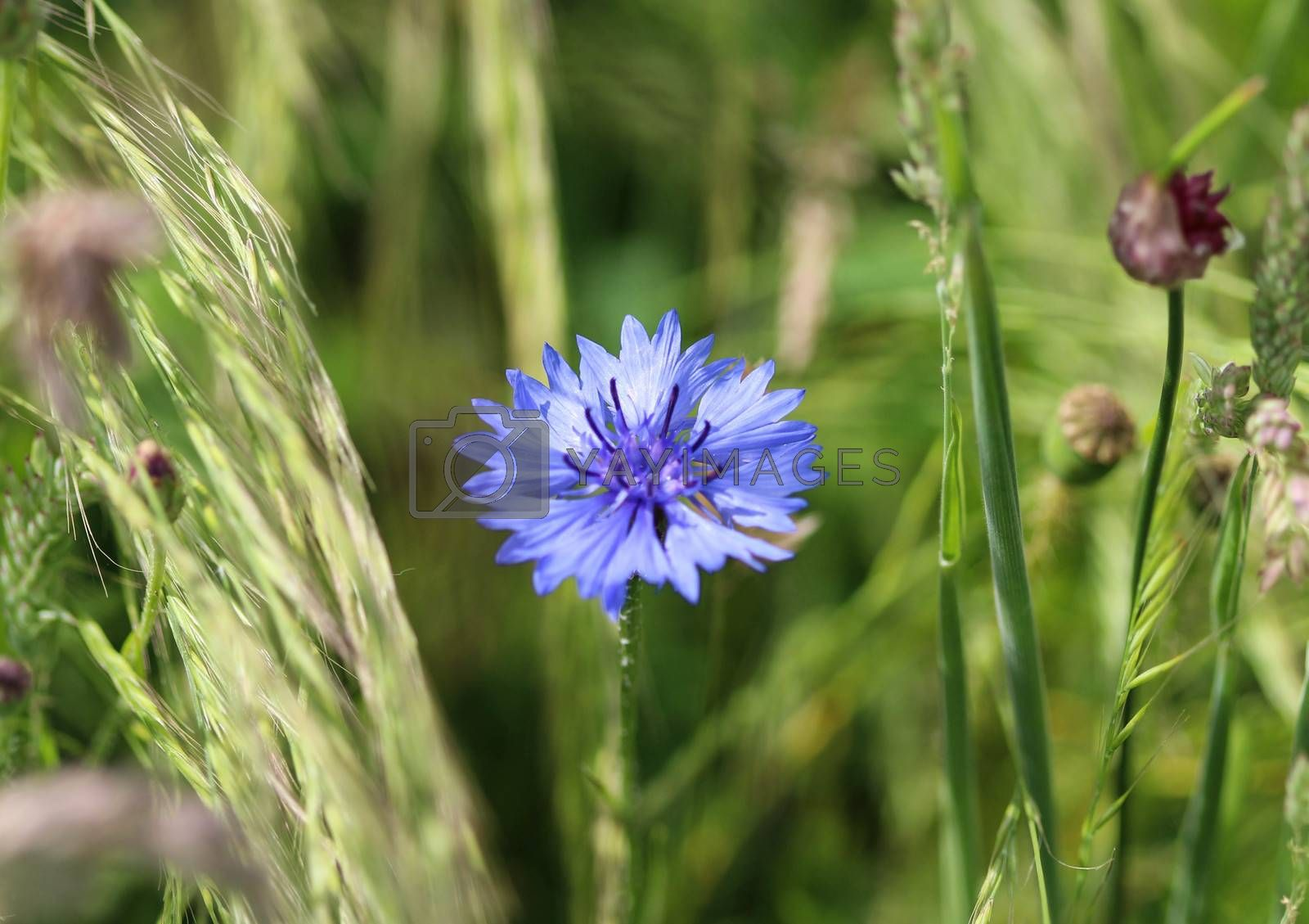 Royalty free image of Centaurea cyanus, commonly known as cornflower or bachelors button by michaelmeijer