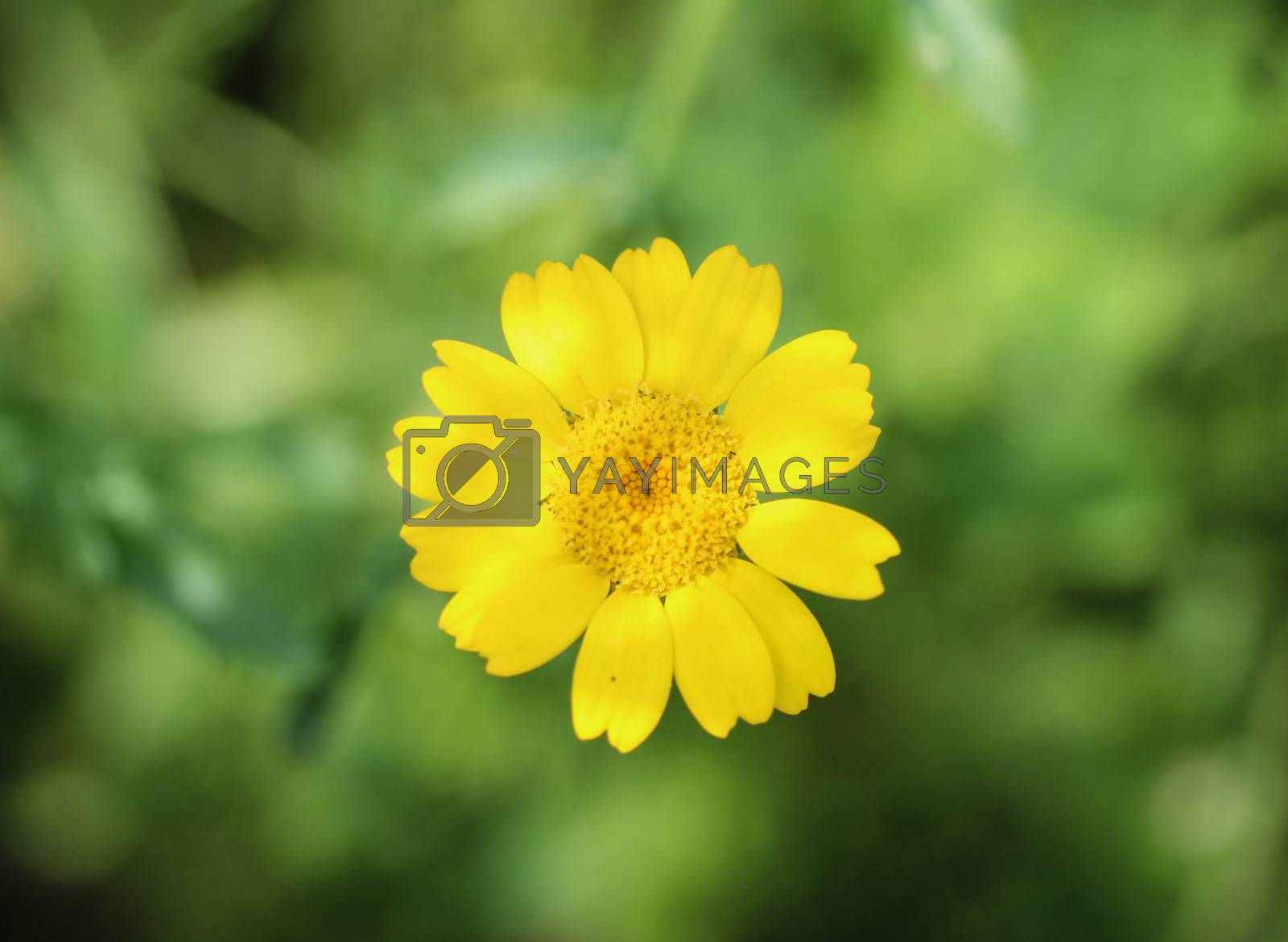 Royalty free image of Glebionis segetum flower, Common names include corn marigold and corn daisy, blooming in summer season by michaelmeijer
