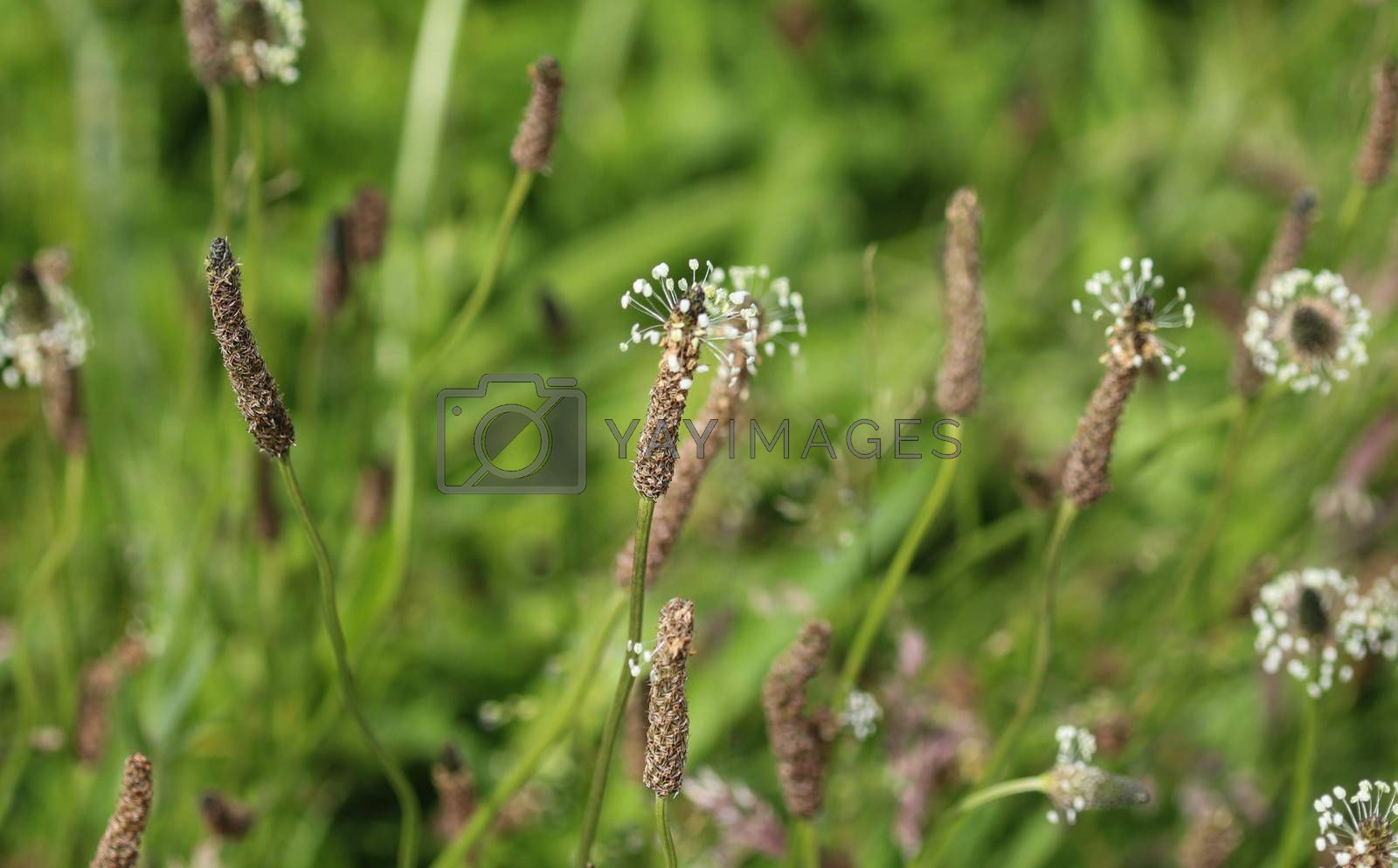 Royalty free image of Plantago lanceolata, It is known by the common names ribwort plantain, narrowleaf plantain, English plantain and ribleaf by michaelmeijer