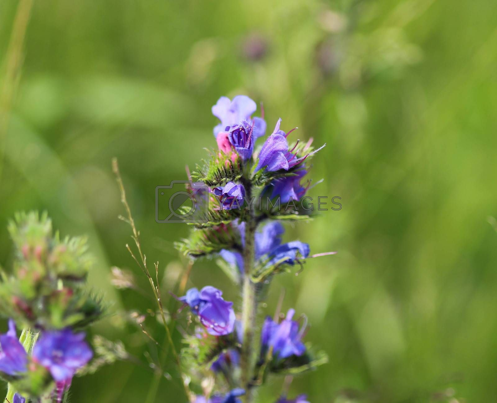 Royalty free image of Echium vulgare flower, known as vipers bugloss and blueweed, blooming in spring by michaelmeijer