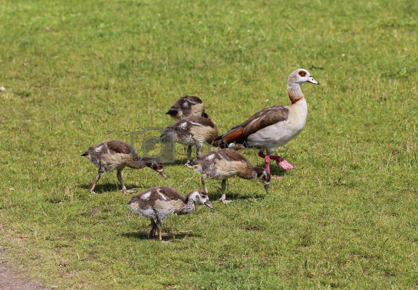 Royalty free image of couple Egyptian goose (Alopochen aegyptiaca) with their young chicks eating grass by michaelmeijer