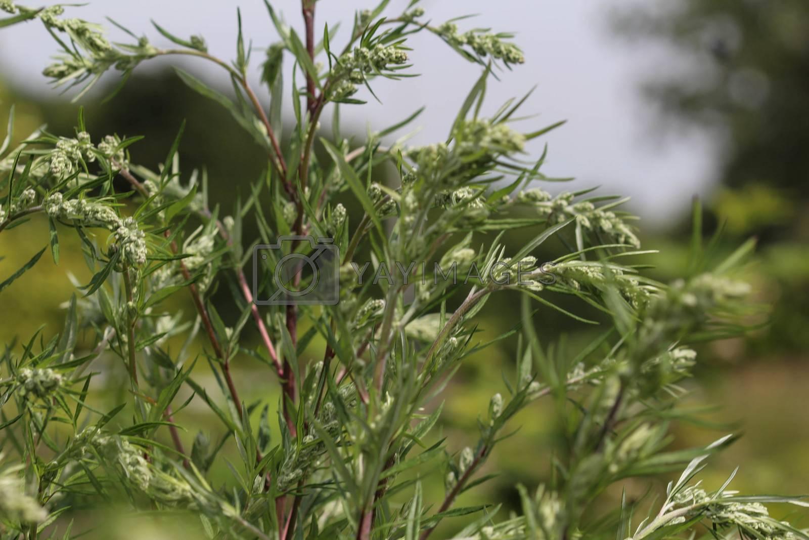 Royalty free image of Artemisia vulgaris, also known as common mugwort, riverside wormwood, felon herb, chrysanthemum weed, wild wormwood. Blooming in spring by michaelmeijer