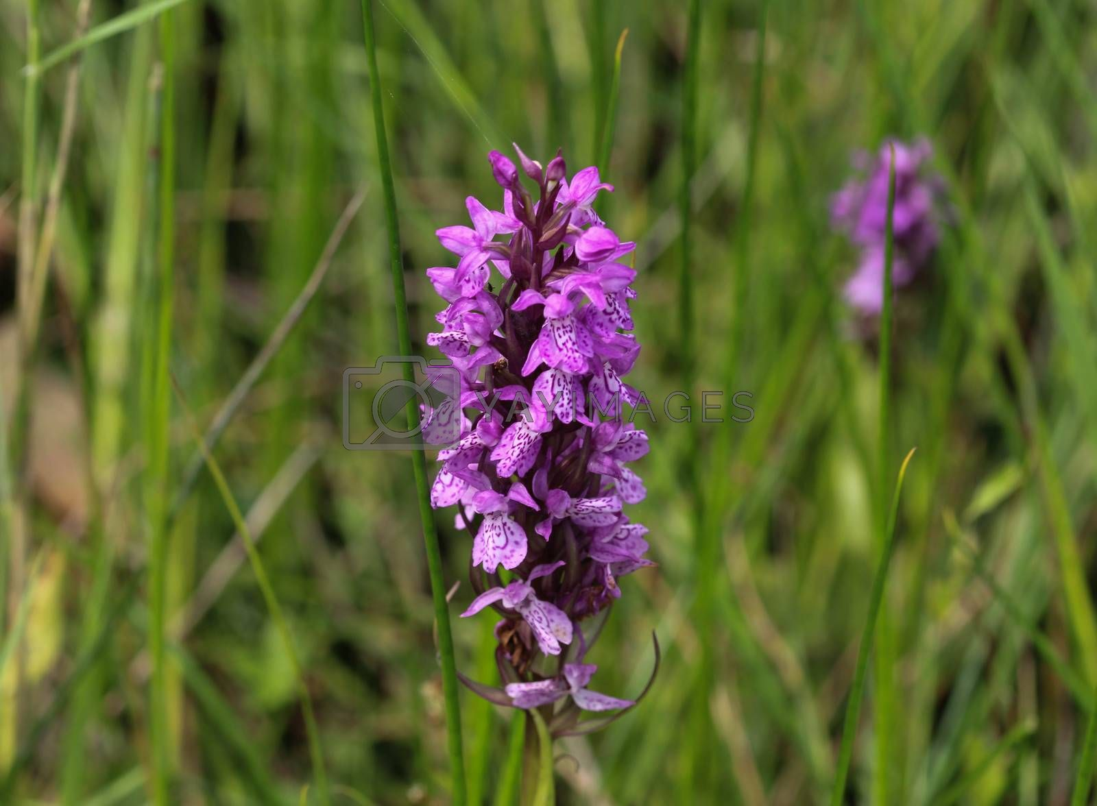 Royalty free image of Dactylorhiza majalis, also known as western marsh orchid, broad-leaved marsh orchid, fan orchid, common marsh or Irish marsh orchid, blooming in spring on wet grassland by michaelmeijer