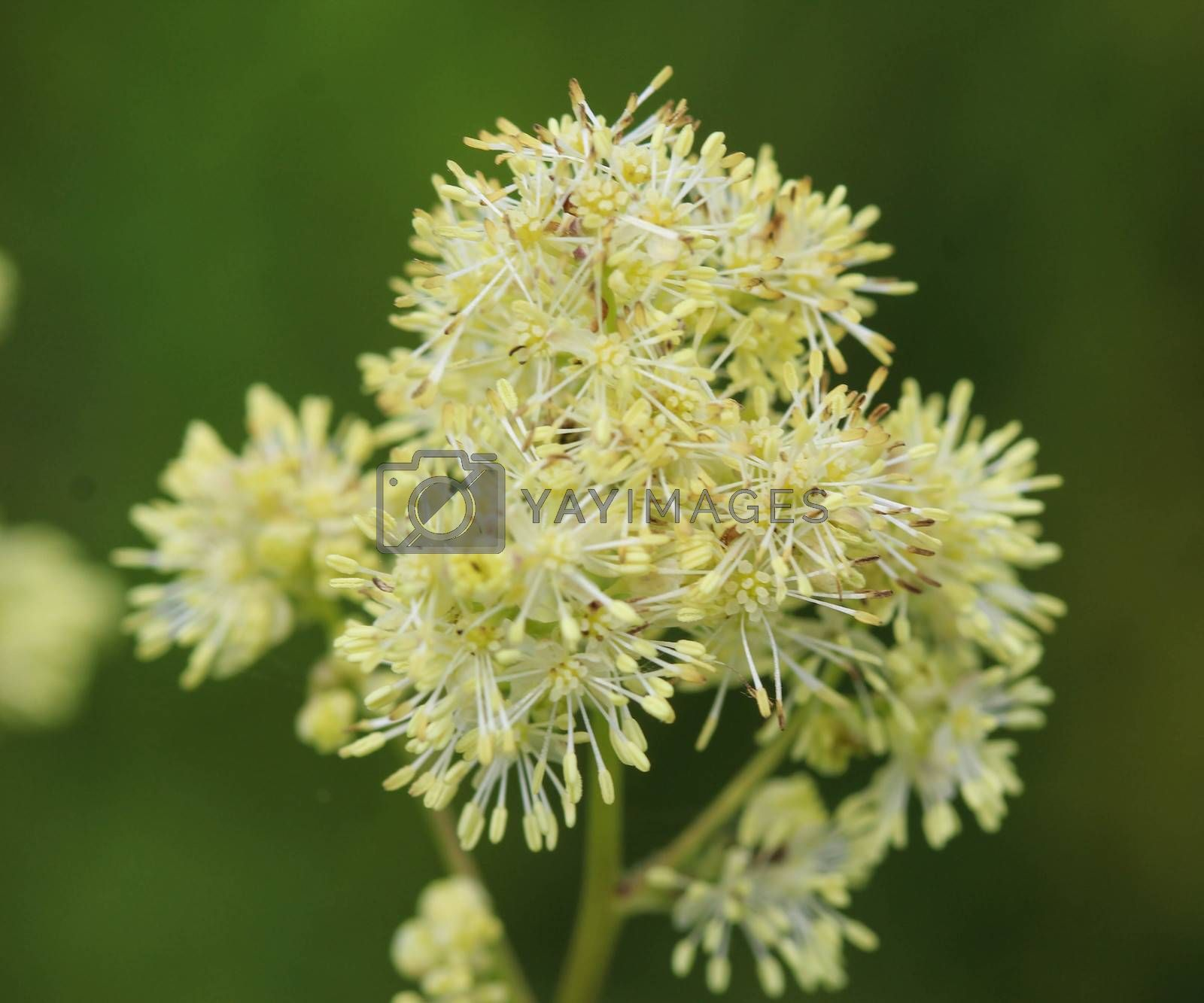 Royalty free image of Thalictrum flavum, known by the common names common meadow-rue, and yellow meadow-rue. Blooming in spring by michaelmeijer