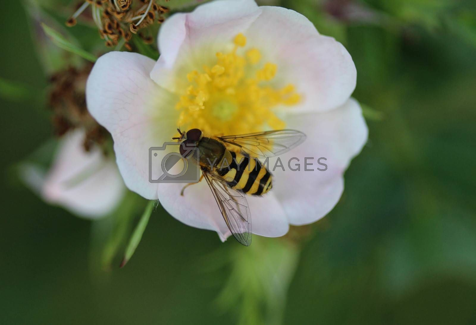 Royalty free image of Syrphus ribesii, a very common European species of hoverfly, sitting on a flower by michaelmeijer