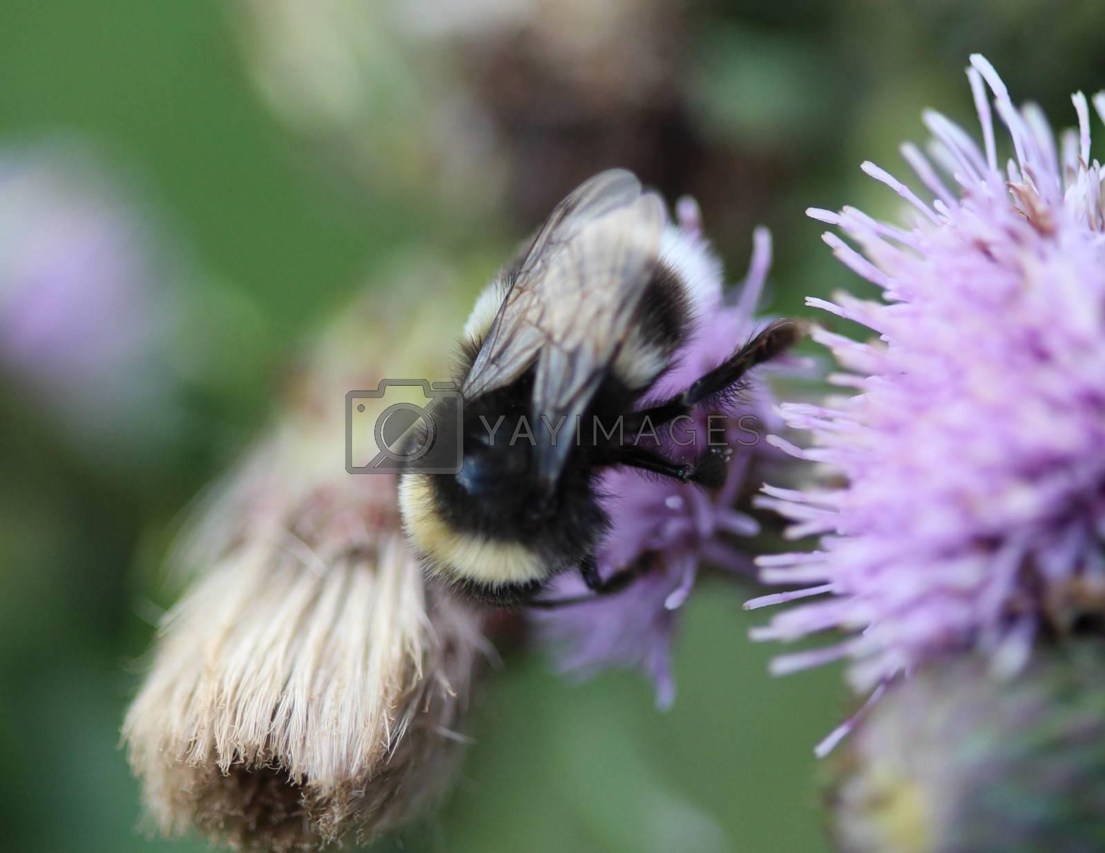 Royalty free image of heath humble-bee or small heath bumblebee, Bombus jonellus by michaelmeijer