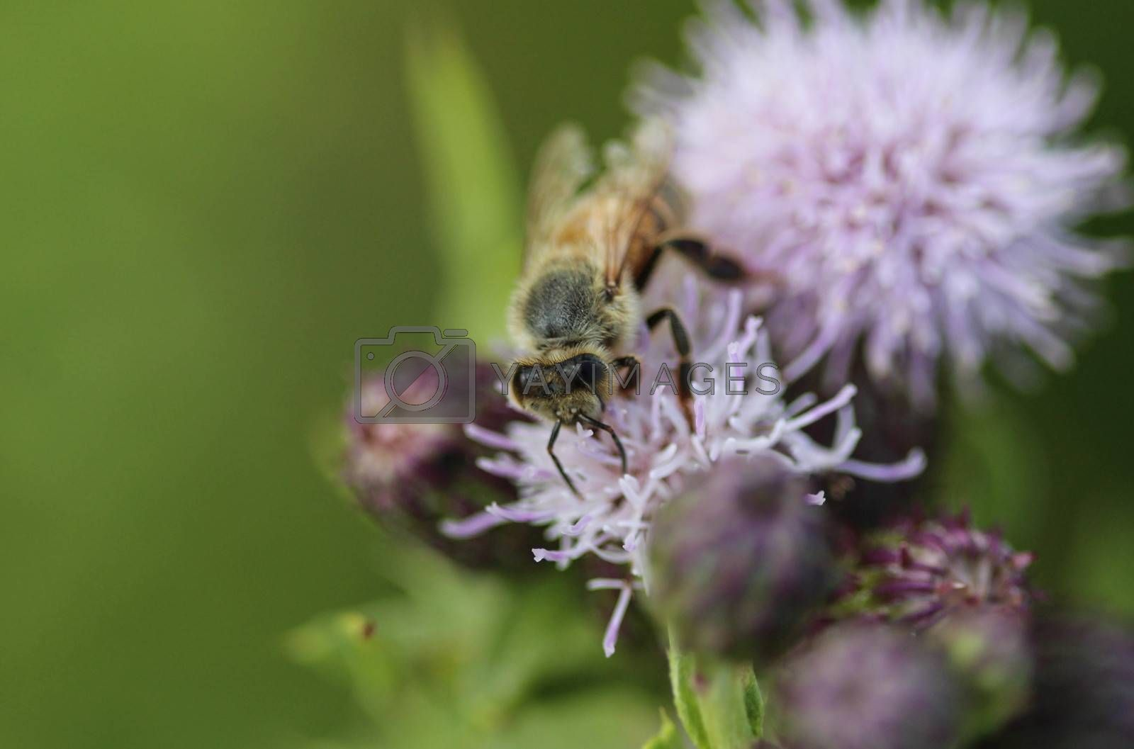 Royalty free image of western honey bee or European honey bee (Apis mellifera), on flower collecting nectar by michaelmeijer