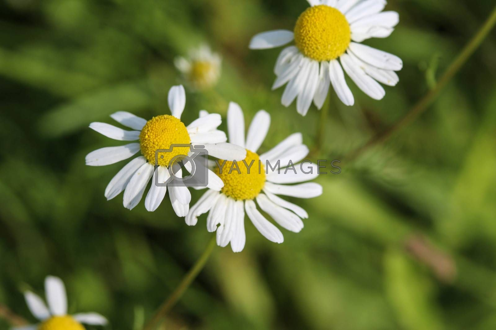 Royalty free image of Matricaria chamomilla, commonly known as chamomile , Italian camomilla, German chamomile, Hungarian chamomile (kamilla), wild chamomile or scented mayweed, blooming in the summer seasonM by michaelmeijer