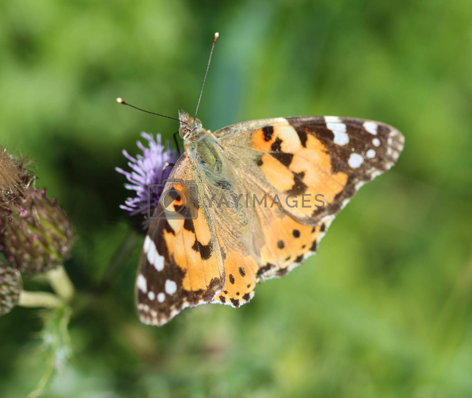 Royalty free image of Vanessa cardui a colourful butterfly, known as the painted lady, or cosmopolitan, resting on a thistle flower by michaelmeijer
