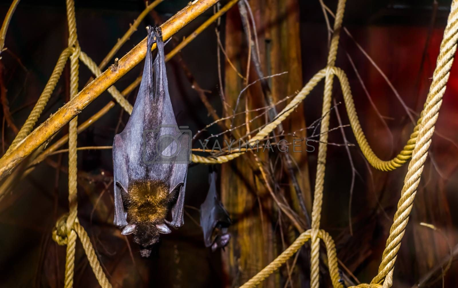 closeup of a lyle's flying fox hanging on a branch, Tropical and vulnerable bat specie from Asia, Nocturnal halloween animal