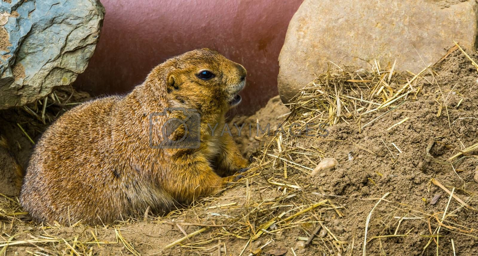 Black tailed prairie dog in closeup, adorable and popular pet, tropical rodent from America