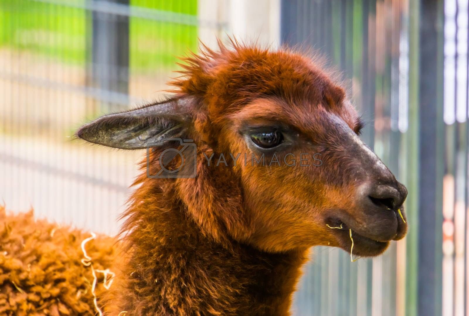 cute closeup of the face of a brown alpaca, popular pet on the animal farm, tropical animal specie from America