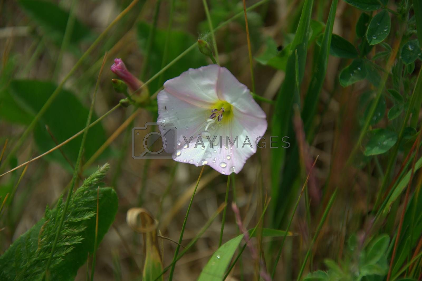 Beautiful wild flower of white color against the background of green meadow grass.