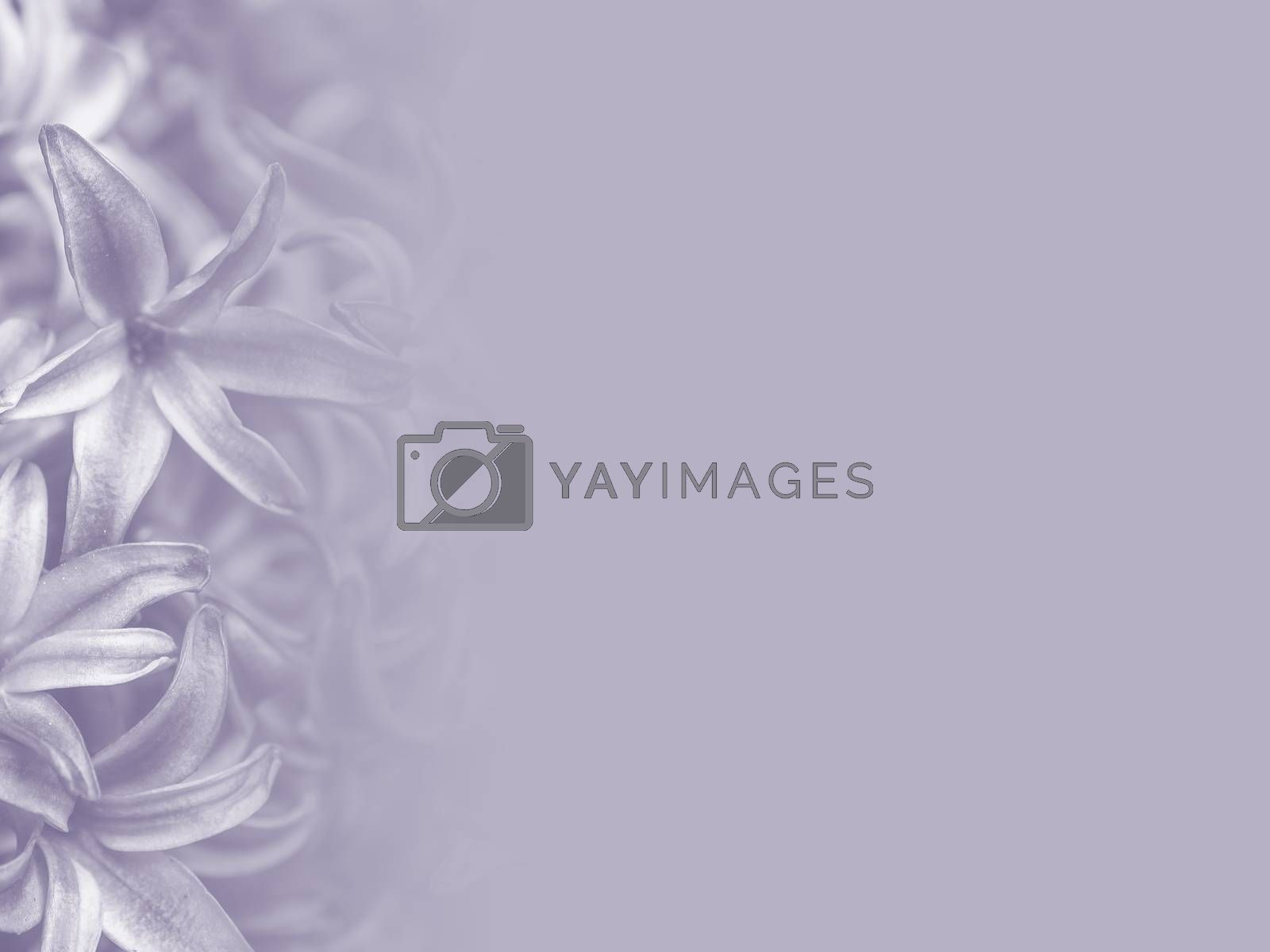 purple hyacinth flower made as abstract flower background illustration.