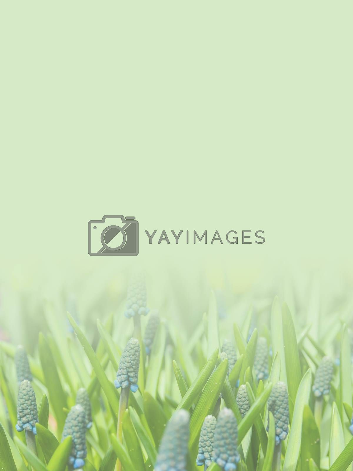 grape hyacinth flowers made as abstract flower background illustration.