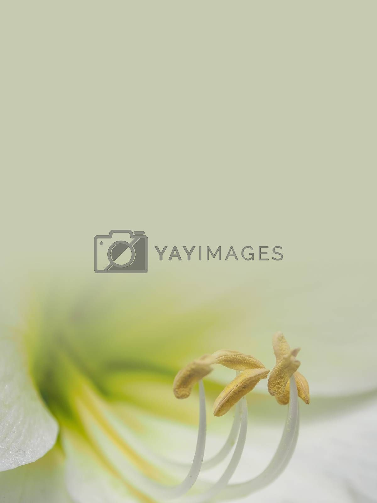 white lily flower with orange pollen made as abstract flower background illustration.