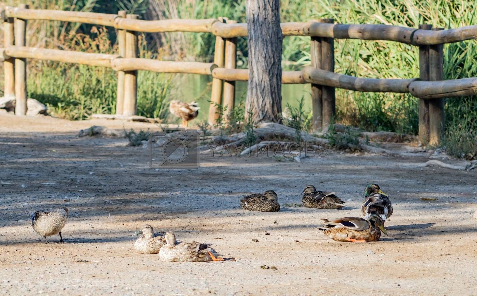 Ducks in freedom in the natural landscape of Nules