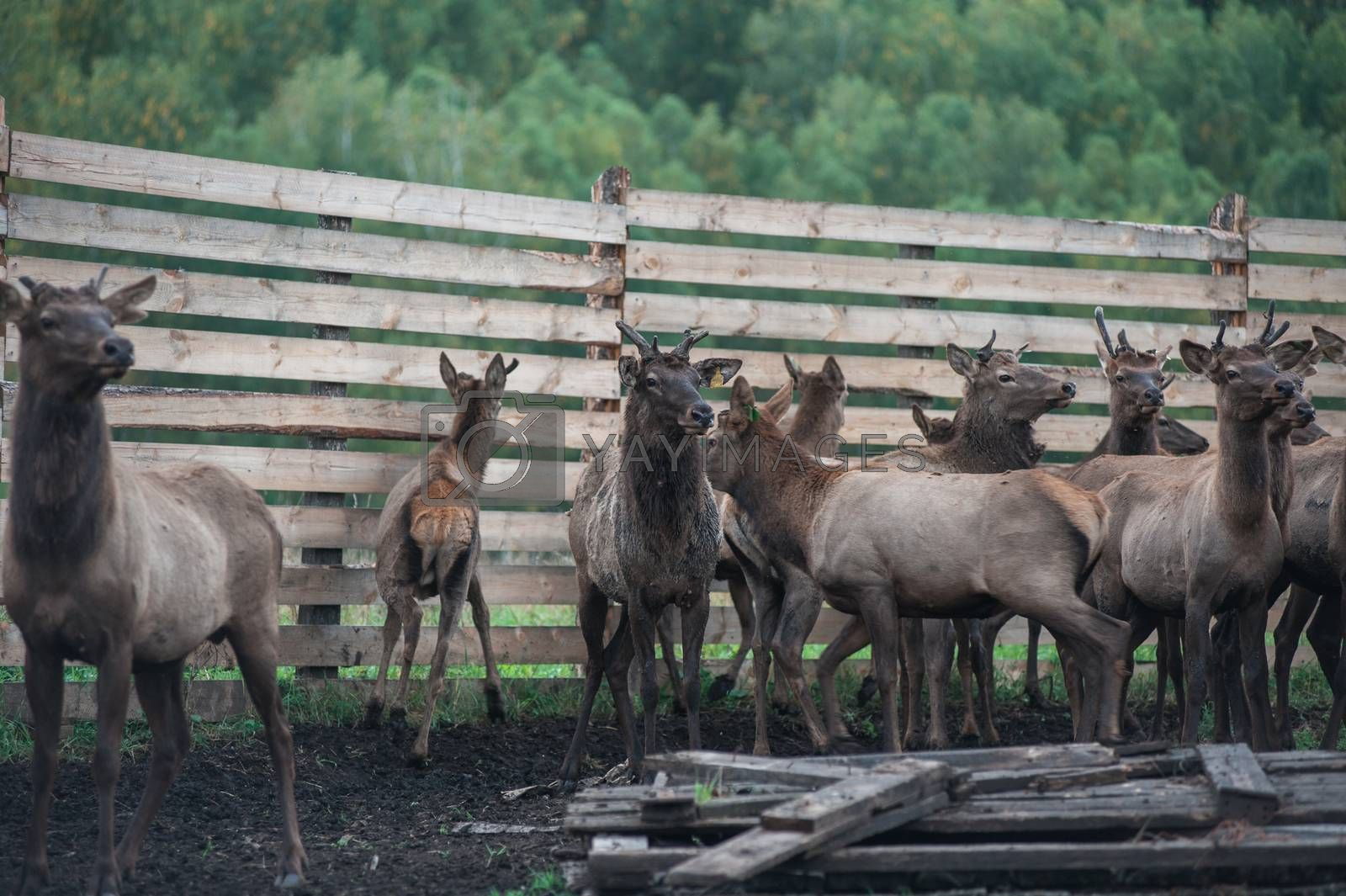 Domesticated deers marals on farm in Altay