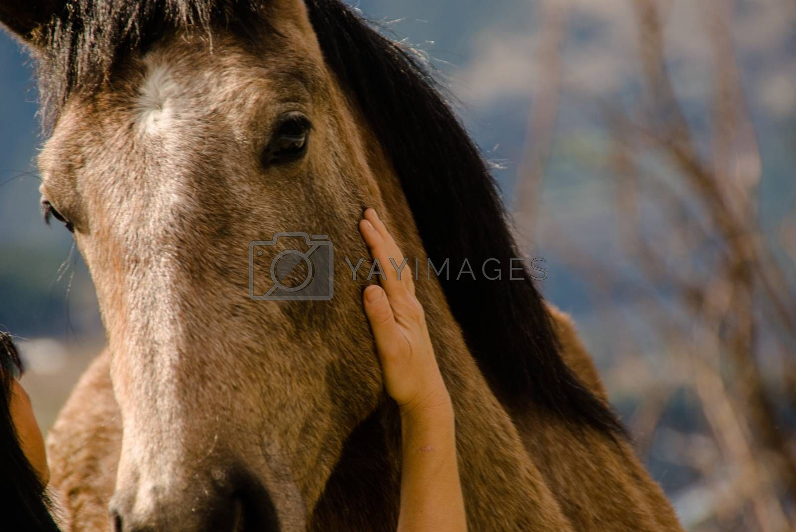 cheek of a horse caressed by the hand of a woman