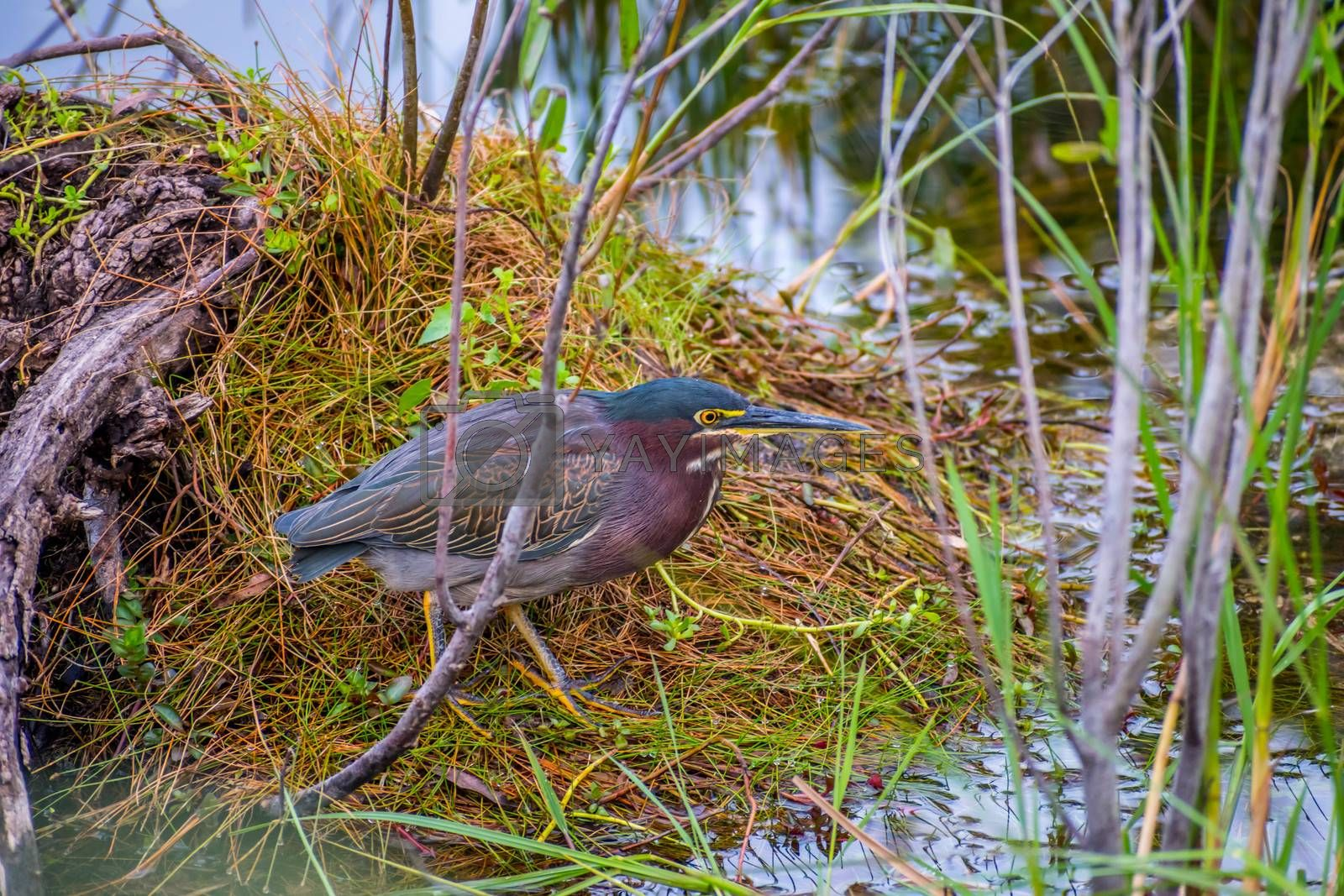 A small and compact type of rare green heron chilling around the national park