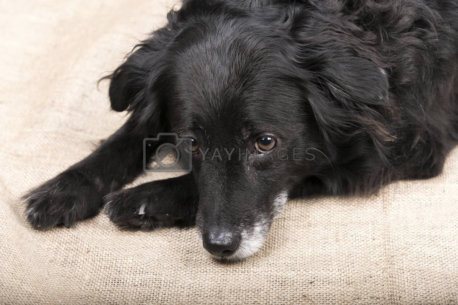 Portrait of a nice black dog is lying on the floor