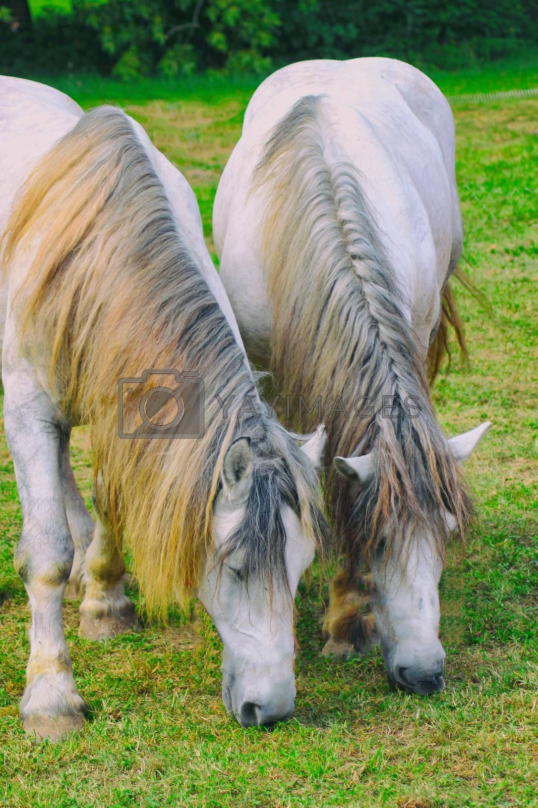 two white horses with coiffed mane graze on green grass, muzzle down.