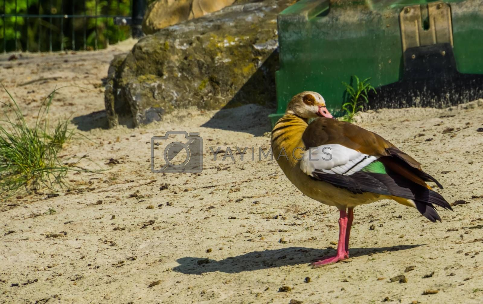Adult Egyptian goose in closeup, colorful and tropical bird specie from Africa