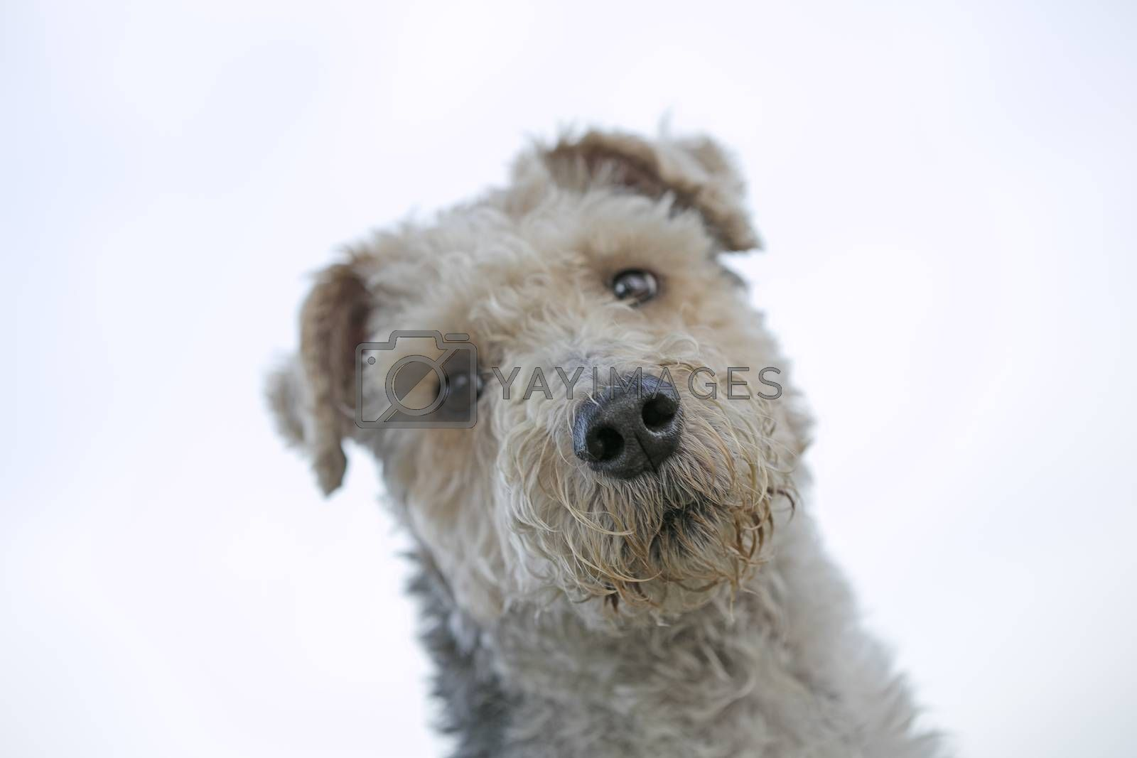 Dog portrait macro background fine art in high quality prints products fifty megapixels by BakalaeroZz Photography