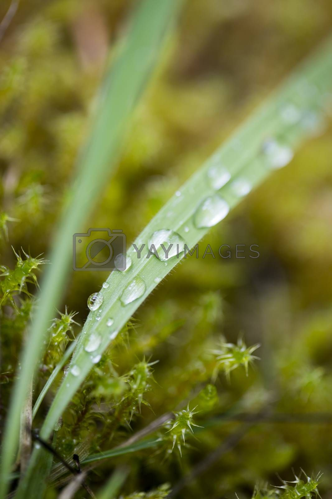 Rain drops on grass leaf macro background fine art in high quality prints products fifty megapixels by BakalaeroZz Photography
