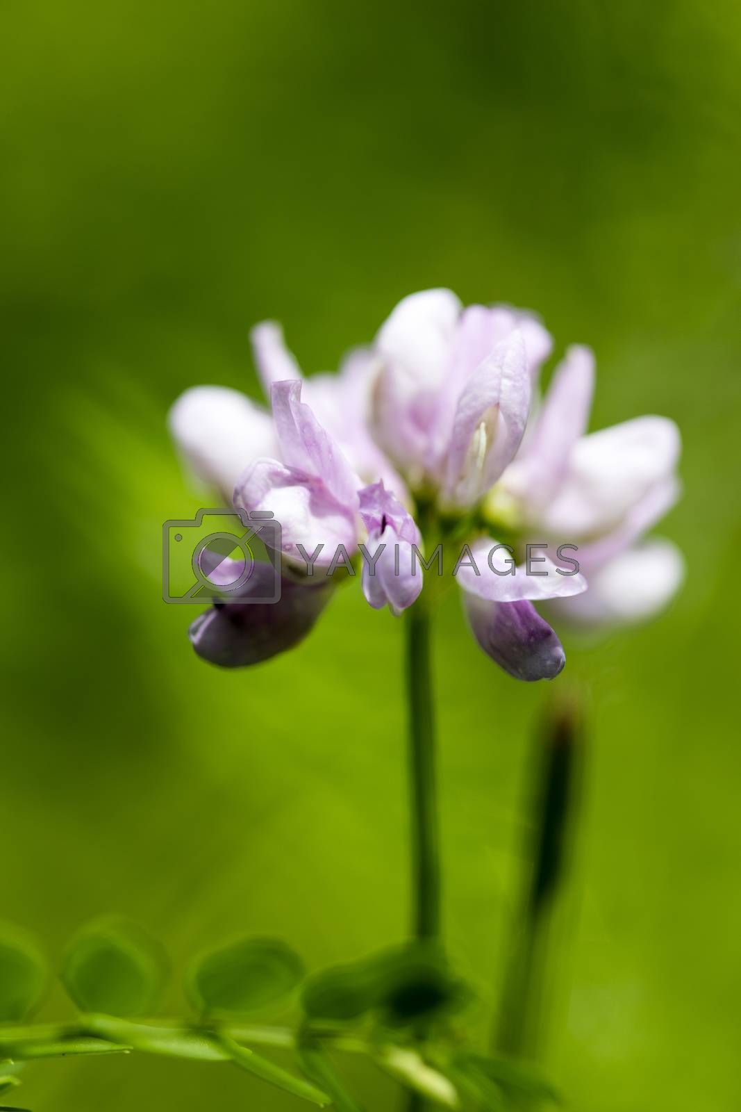 Wild flower trifolium botanical identity macro background fine art high quality prints products fifty megapixels