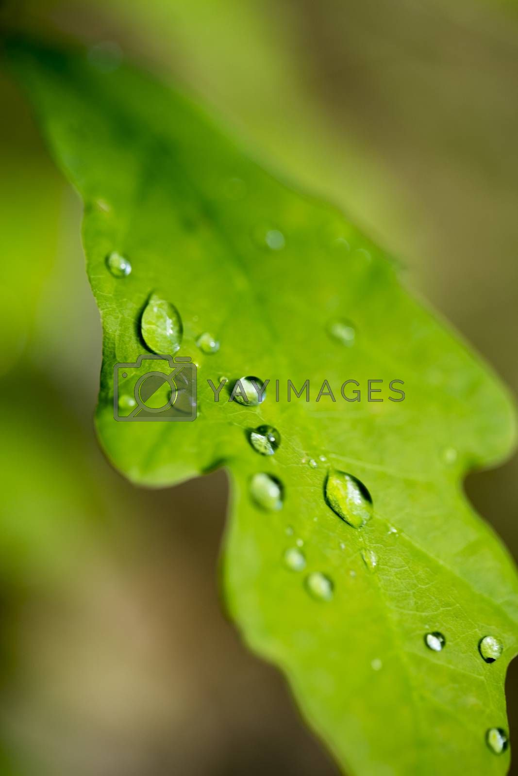 Rain drops on cercus leaf macro background fine art in high quality prints products fifty megapixels by BakalaeroZz Photography