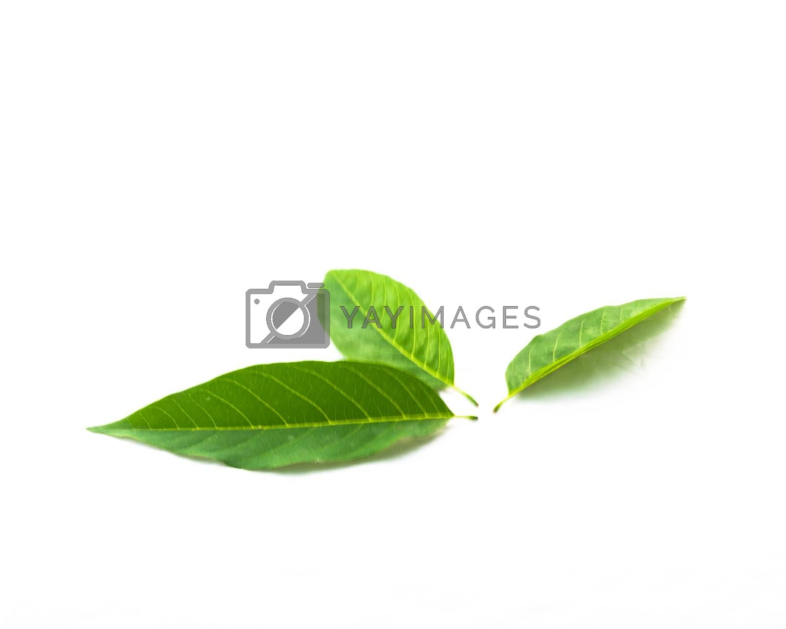 Top view studio shot three custard apple or sugar-apple, sweetsop leaves isolated on white background. It is the fruit of Annona squamosa, a native of the tropical Americas and West Indies