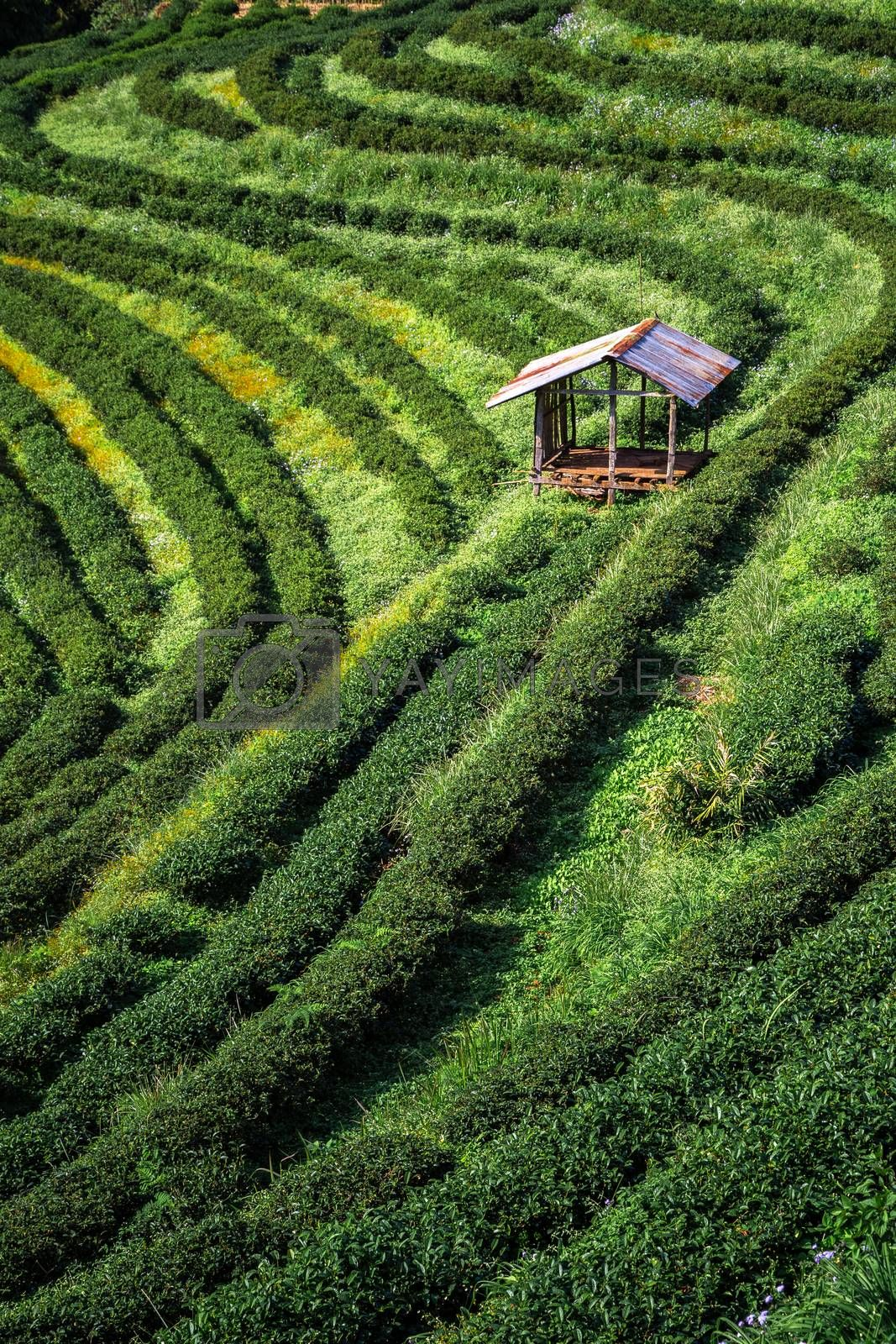 Small cottage in a field of tea farm, planting on slope of hill and mountain.