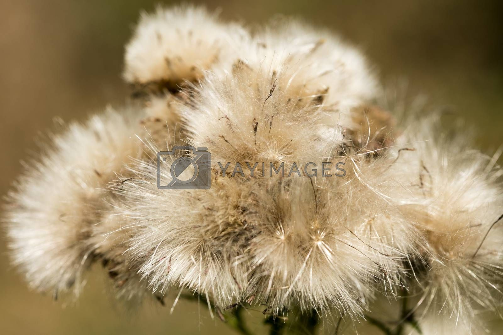 Dandelion flower macro background fine art in high quality prints products fifty megapixels by BakalaeroZz Photography