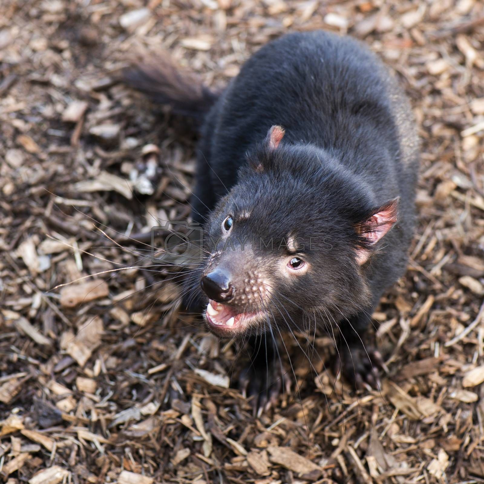 Royalty free image of Tasmanian Devil outside during the day in Tasmania. by artistrobd