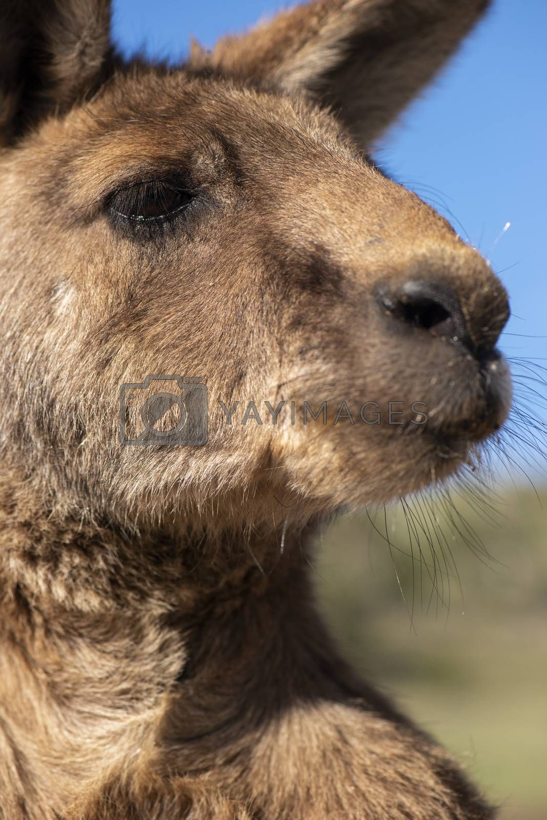 Royalty free image of Kangaroo outside during the day time. by artistrobd