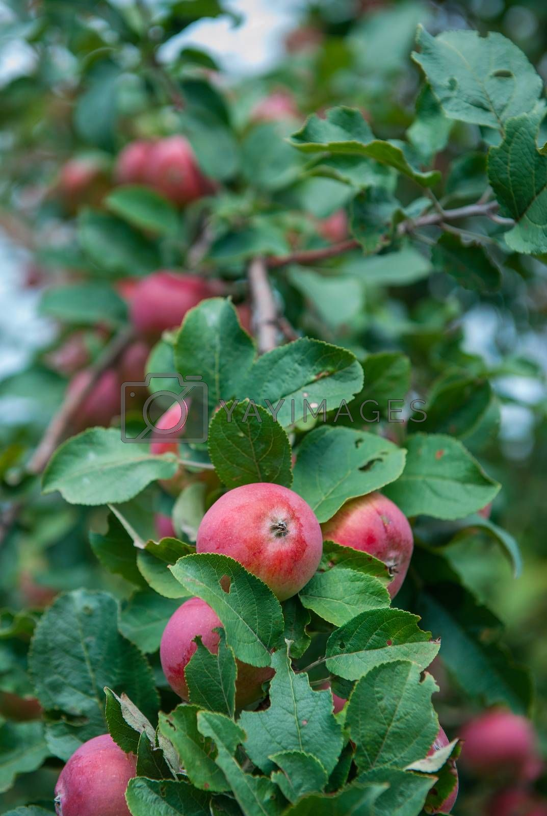 Apple tree with apples, organic natural fruits in a garden, harvest concept