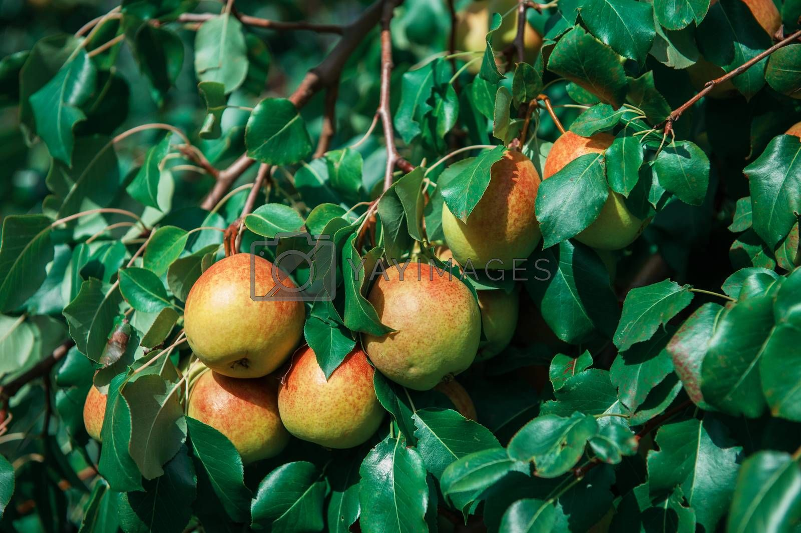 Pear tree with pears, organic natural fruits in a garden, harvest concept