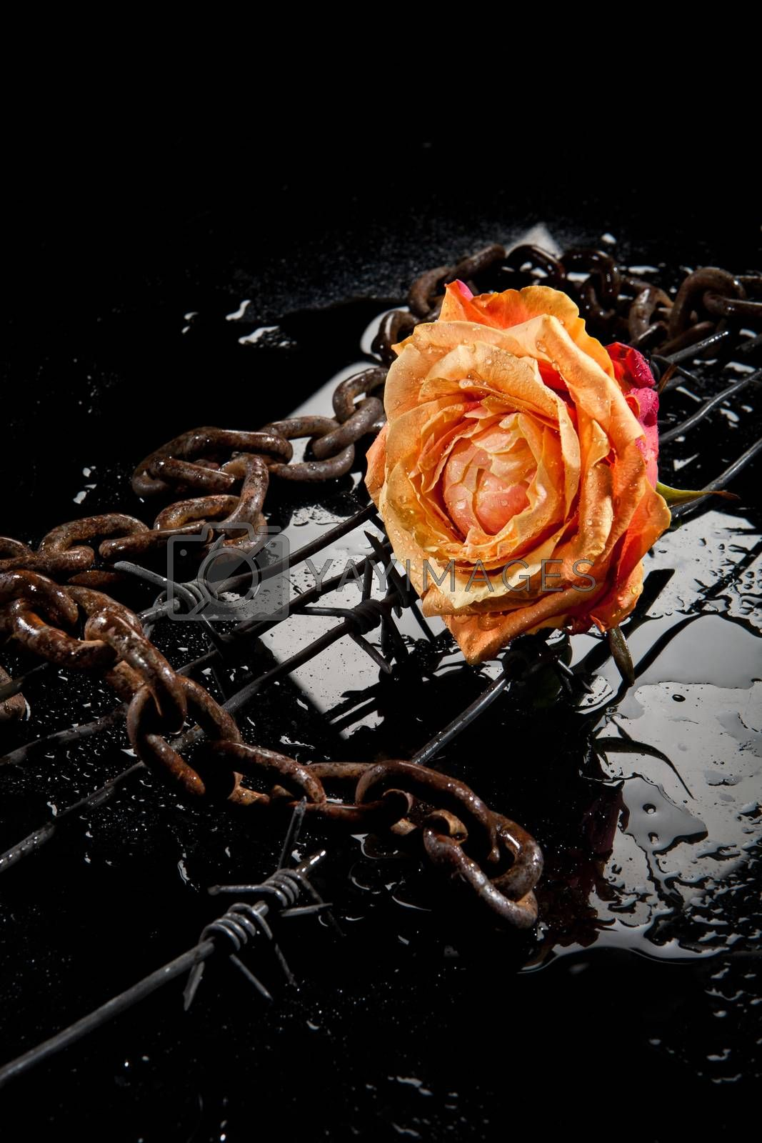 Rose, Chain And Barbed Wire by Fotoskat