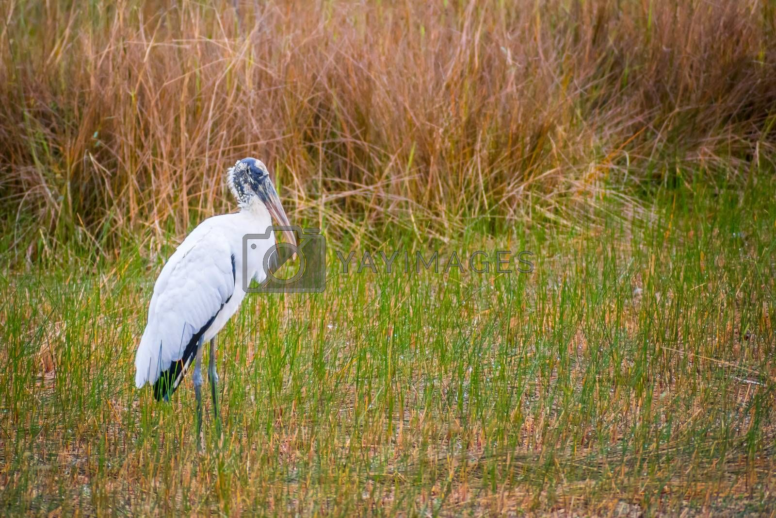 A Black Headed Ibis in Everglades National Park, Florida by Cheri Alguire