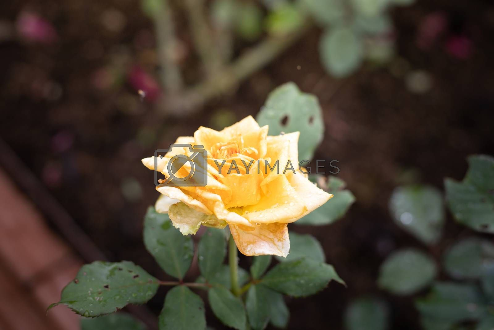 Roses in the garden  by Teerawit Tj-rabbit