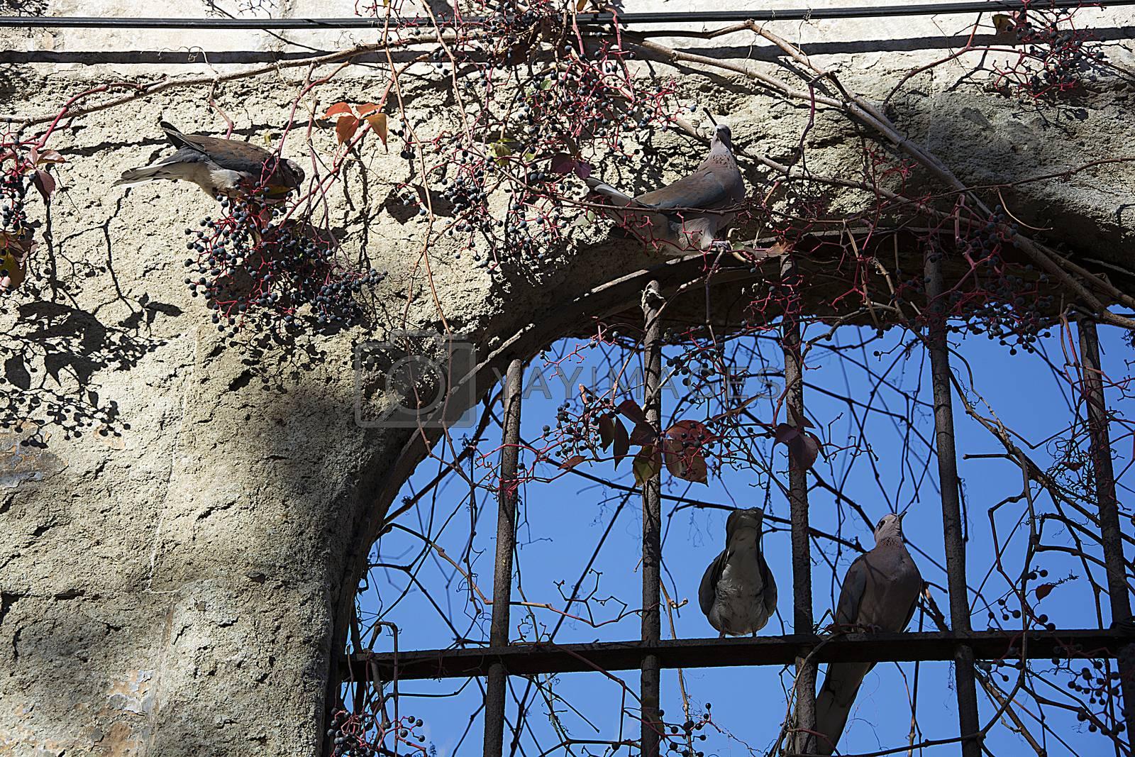 pigeons by Nursel