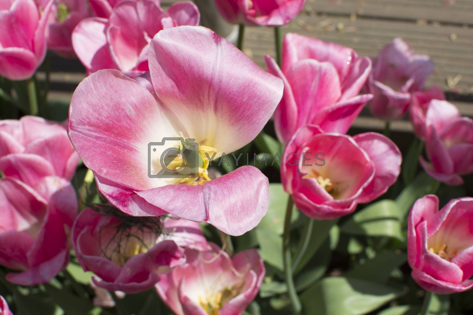 Pink tulips by Nursel