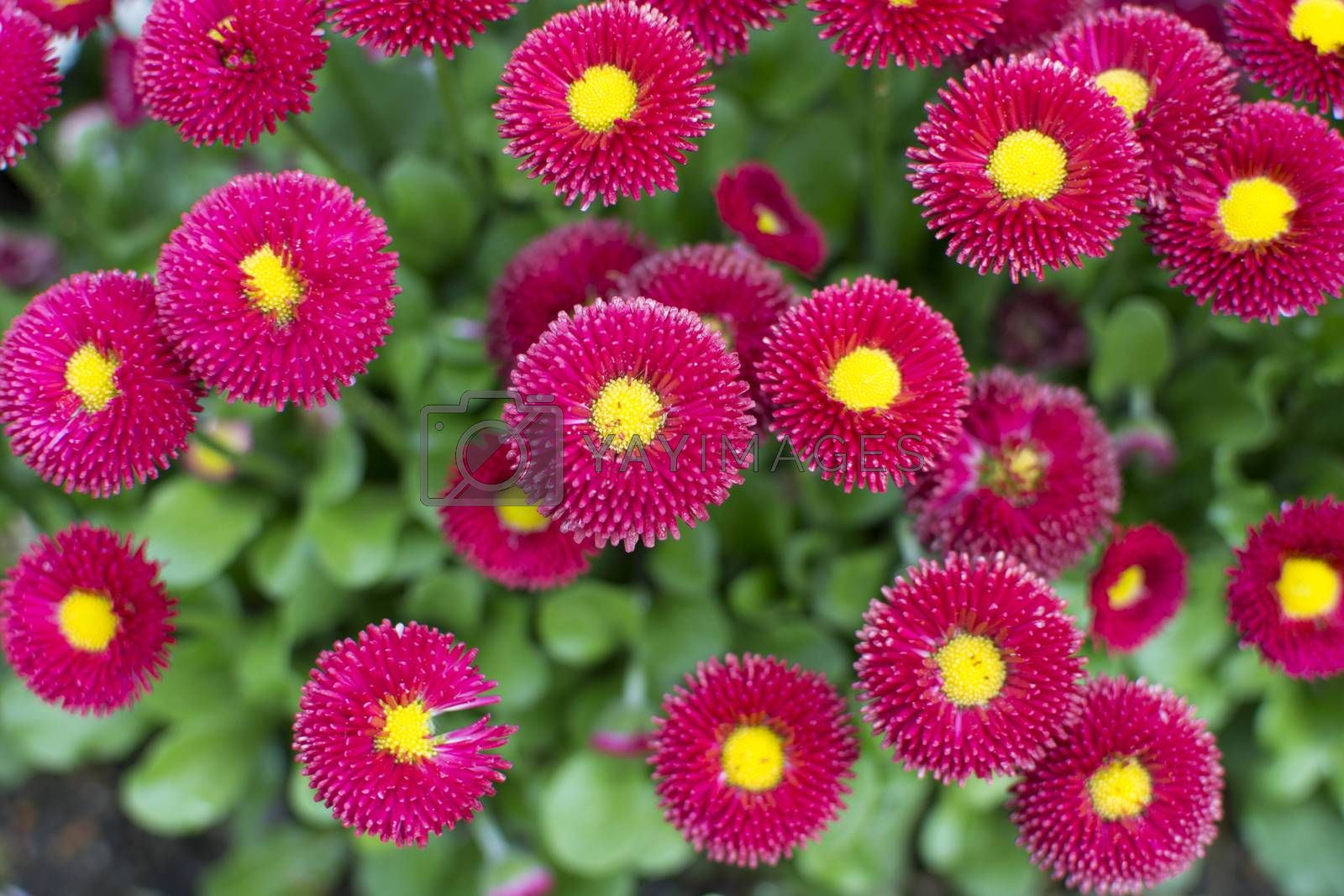 Bellis Papathy by Nursel